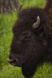 Buffalo che pasce sull'erba della sorgente del ranch Fotografia Stock Libera da Diritti
