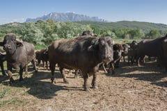 Buffalo che pasce in un campo Campania, Italia, Europa Immagini Stock Libere da Diritti