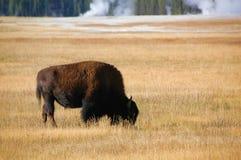Buffalo che pasce vicino a cuocere a vapore i geyser Immagini Stock