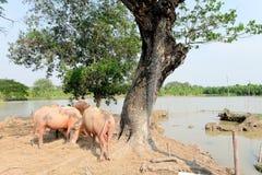 Buffalo chew hay. In farm, Thailand,livestock stock photos