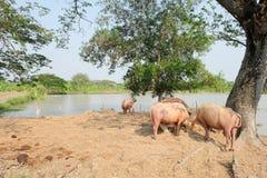 Buffalo chew hay. In farm, Thailand,livestock stock images