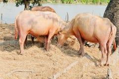 Buffalo chew hay. In farm, Thailand,livestock stock photo