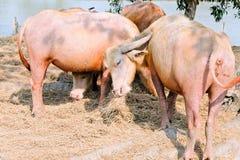 Buffalo chew hay. Thailand,livestock royalty free stock photos
