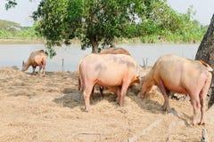 Buffalo chew hay. In farm, Thailand,livestock royalty free stock photos