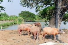 Buffalo chew hay. Thailand,livestock stock photo