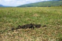 Buffalo chié sur le champ d'herbe photographie stock