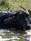 Buffalo chilling in the hot sun-south-Goa-India Royalty Free Stock Photography