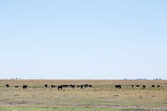 Buffalo - Chobe N.P. Botswana, Africa Stock Photography