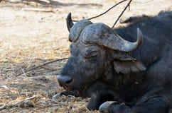 Buffalo in Chobe National Park, Botswana Stock Image