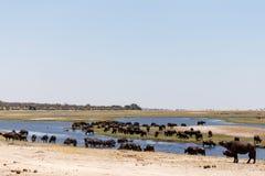 Buffalo - Chobe River, Botswana, Africa Stock Image