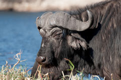 Buffalo at Chobe River. A buffalo on Sidudu island inside the Chobe river lifts its head and looks while another right behind it continues grazing on the long stock photos