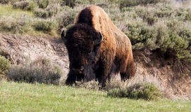 Buffalo climbing up a hill Stock Photos