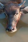 Buffalo. Close up of head buffalo Royalty Free Stock Images