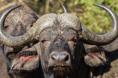 Buffalo Head Animal Wildlife Royalty Free Stock Photography