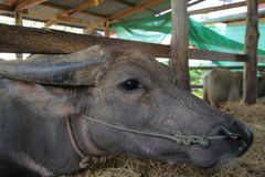 Buffalo close up,a heavily built wild ox with backswept horns , Stock Images
