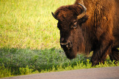 Buffalo Stock Photo