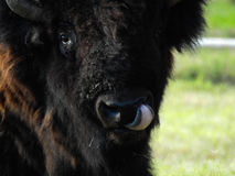 Buffalo. Closeup licking nose Stock Images