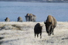 Buffalo coming out of river. In Yellowstone Stock Photo