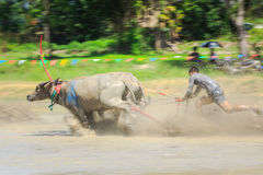 Buffalo competition in dirt track Royalty Free Stock Photography