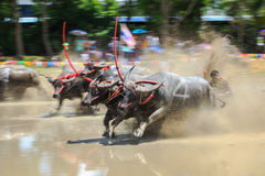 Buffalo competition in dirt track Royalty Free Stock Photo