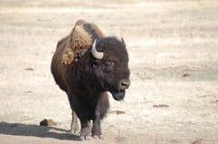 Buffalo con la poppa Fotografie Stock