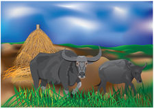 The buffalo Stock Photo