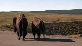 Buffalo couple Stock Photos