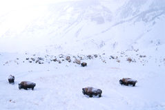 Buffalo covered in snow Stock Photos
