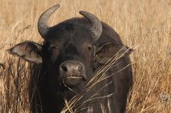Buffalo Cow Royalty Free Stock Photo