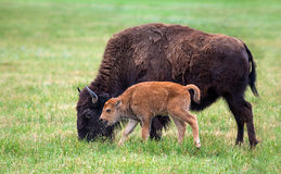 Buffalo cow and a calf Stock Photo