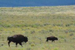 American Bison Buffalo Cow and Calf Royalty Free Stock Image