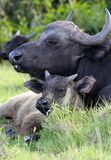 Buffalo Cow and Calf Stock Photos