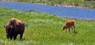 Buffalo Cow with Calf in Yellowstone National Park Royalty Free Stock Image
