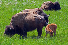 Buffalo Cow with Calf in Yellowstone National Park Royalty Free Stock Images