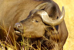 Southern african animals. Buffalo cow grazing at Kruger National Park Royalty Free Stock Photo