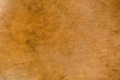 Buffalo cow skin background texture Royalty Free Stock Photo