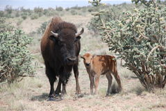 Buffalo Cow Stands with her Calf Stock Image