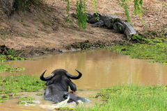 Buffalo and Crocodile Stock Photography