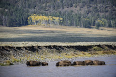 Buffalo crossing. A buffalo herd crosses the Lamar river in Yellowstone national park in fall, with golden aspen trees in the background Stock Images