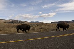 Buffalo crossing the road Royalty Free Stock Photo