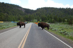 Buffalo. Crossing the road at Yellowstone National Park royalty free stock images