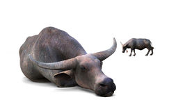 Buffalo crouching. And buffalo standing far away  on white background Royalty Free Stock Image