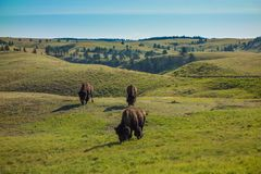 Buffalo, Custer State Park, Custer, écart-type Photos libres de droits