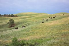 Buffalo, Custer State Park, Custer, écart-type images stock