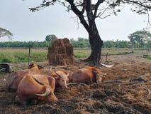 Buffalo détendent le temps dans la ferme Image libre de droits