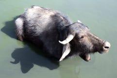 Buffalo d'eau Photo libre de droits
