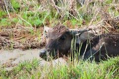 Buffalo d'eau Photos stock