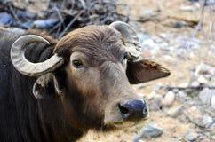 Buffalo d'eau Image libre de droits
