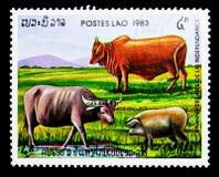Buffalo d'eau asiatique, bétail, porc domestique, 8ème anniversaire de Th Photographie stock libre de droits
