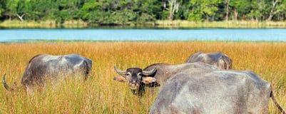 Buffalo d'eau mâchant le ruminage avec le troupeau à la lumière du soleil de matin en parc national de Wilpattu dans Sri Lanka photos libres de droits